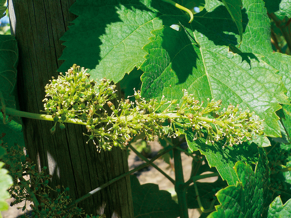 La vigne en fleur